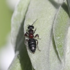 Tiphiidae sp. (family) (Unidentified Smooth flower wasp) at Higgins, ACT - 18 Oct 2020 by AlisonMilton