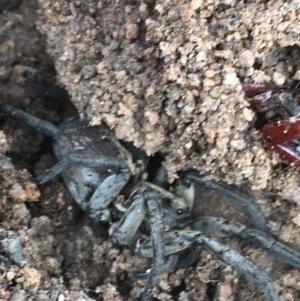 Tasmanicosa sp. (genus) at Hughes Garran Woodland - 3 Dec 2020