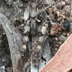 Pycnostictus sp. (genus) (A bandwing grasshopper) at Hughes Garran Woodland - 3 Dec 2020 by Tapirlord