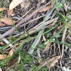 Carex inversa at Hughes Garran Woodland - 3 Dec 2020