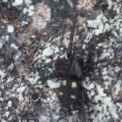 Eilica sp. (genus) (An Ant spider or Spotted ground spider) at Hughes Garran Woodland - 3 Dec 2020 by Tapirlord