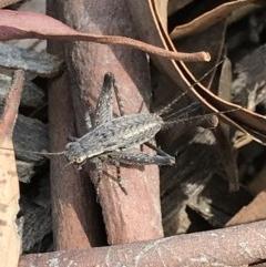 Eurepa marginipennis (Mottled bush cricket) at Bruce, ACT - 2 Dec 2020 by MattFox
