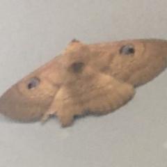 Dasypodia selenophora (Southern old lady moth) at Lyneham, ACT - 26 Nov 2020 by Ned_Johnston