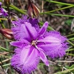 Thysanotus tuberosus subsp. tuberosus (Common Fringe-lily) at Gundaroo, NSW - 4 Dec 2020 by Gunyijan