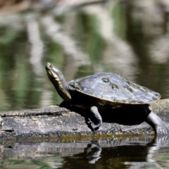 Emydura macquarii (Macquarie Turtle) at Jerrabomberra Wetlands - 3 Dec 2020 by davidcunninghamwildlife