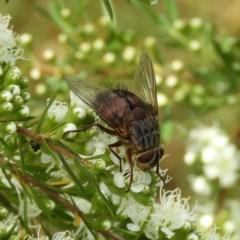 Rutilia (Donovanius) sp. (genus & subgenus) (TBC) at Mount Taylor - 3 Dec 2020 by MatthewFrawley