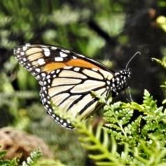 Danaus plexippus (Monarch/Wanderer) at Brindabella National Park - 4 Dec 2020 by JohnBundock