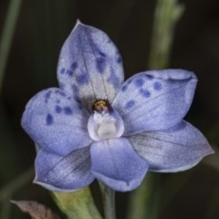 Thelymitra juncifolia (Large-spotted sun orchid) at Mount Clear, ACT - 27 Nov 2020 by DerekC