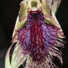 Calochilus platychilus (Purple beard orchid) at Booth, ACT - 24 Nov 2020 by DerekC