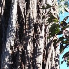 Varanus varius (Lace Monitor) at Gundaroo, NSW - 4 Dec 2020 by SwalaPark