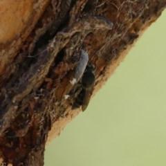 Unidentified Wasp (Hymenoptera, Apocrita) (TBC) at Wodonga - 3 Dec 2020 by Kyliegw
