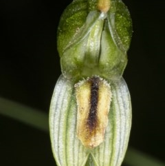 Bunochilus montanus (Montane Leafy Greenhood) at Booth, ACT - 22 Oct 2020 by DerekC