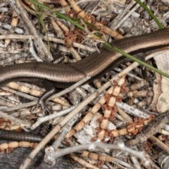 Acritoscincus platynotus (Red-throated Skink) at Namadgi National Park - 29 Sep 2020 by DerekC