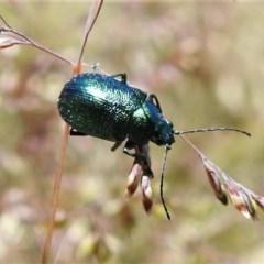 Edusella sp. (genus) (A leaf beetle) at Brindabella National Park - 4 Dec 2020 by JohnBundock