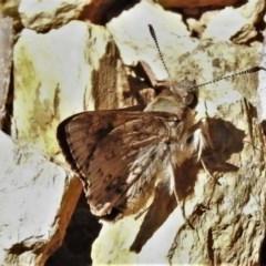Trapezites phigalioides (Montane Ochre) at Brindabella National Park - 4 Dec 2020 by JohnBundock