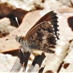 Neolucia hobartensis (Montane Heath-blue) at Brindabella National Park - 4 Dec 2020 by JohnBundock