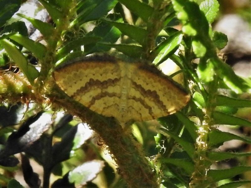 Chrysolarentia correlata at Brindabella National Park - 4 Dec 2020