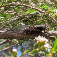 Yoyetta sp. (genus) (Firetail or Ambertail Cicada) at Federal Golf Course - 30 Nov 2020 by JackyF