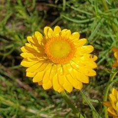 Xerochrysum viscosum (Sticky everlasting) at Cook, ACT - 1 Nov 2020 by drakes