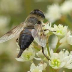 Trichophthalma sp. (genus) (Tangle-vein fly) at Braemar, NSW - 22 Nov 2020 by Curiosity