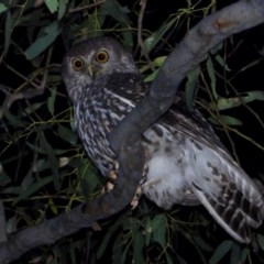 Ninox connivens (Barking Owl) at Wonga Wetlands - 26 Nov 2020 by WingsToWander