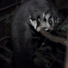 Petaurus norfolcensis (Squirrel Glider) at Wonga Wetlands - 26 Nov 2020 by WingsToWander