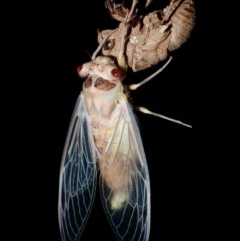 Psaltoda moerens (Redeye Cicada) at Wonga Wetlands - 26 Nov 2020 by WingsToWander