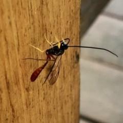 Heteropelma scaposum (Two-toned caterpillar parasite wasp) at Aranda, ACT - 4 Dec 2020 by KMcCue