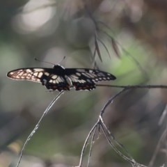 Papilio anactus (Dainty Swallowtail) at Cook, ACT - 20 Nov 2020 by Tammy