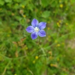 Wahlenbergia sp. (Bluebell) at Tinderry, NSW - 21 Nov 2020 by danswell