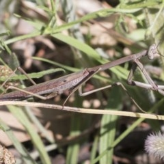 Archimantis sp. (genus) (Large Brown Mantis) at The Pinnacle - 3 Dec 2020 by AlisonMilton