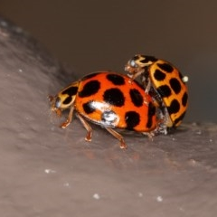 Harmonia conformis (Common Spotted Ladybird) at ANBG - 3 Dec 2020 by rawshorty