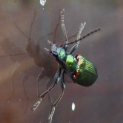 Lepturidea viridis (Green comb-clawed beetle) at Rugosa at Yass River - 3 Dec 2020 by SenexRugosus