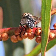 Sarcophagidae sp. (family) (Unidentified flesh fly) at Throsby, ACT - 4 Dec 2020 by davobj