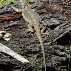 Pogona barbata (Eastern Bearded Dragon) at Hughes Grassy Woodland - 4 Dec 2020 by JackyF