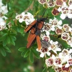 Porrostoma sp. (genus) (Lycid beetle, Net-winged beetle) at Hughes, ACT - 5 Dec 2020 by JackyF