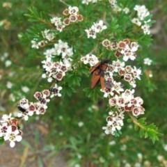 Kunzea ericoides (Burgan) at Hughes, ACT - 5 Dec 2020 by JackyF
