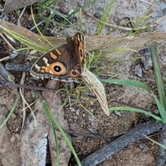 Junonia villida (Meadow Argus) at Hughes Grassy Woodland - 3 Dec 2020 by JackyF