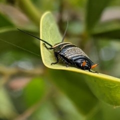 Ellipsidion australe (Austral Ellipsidion cockroach) at Hughes, ACT - 5 Dec 2020 by JackyF