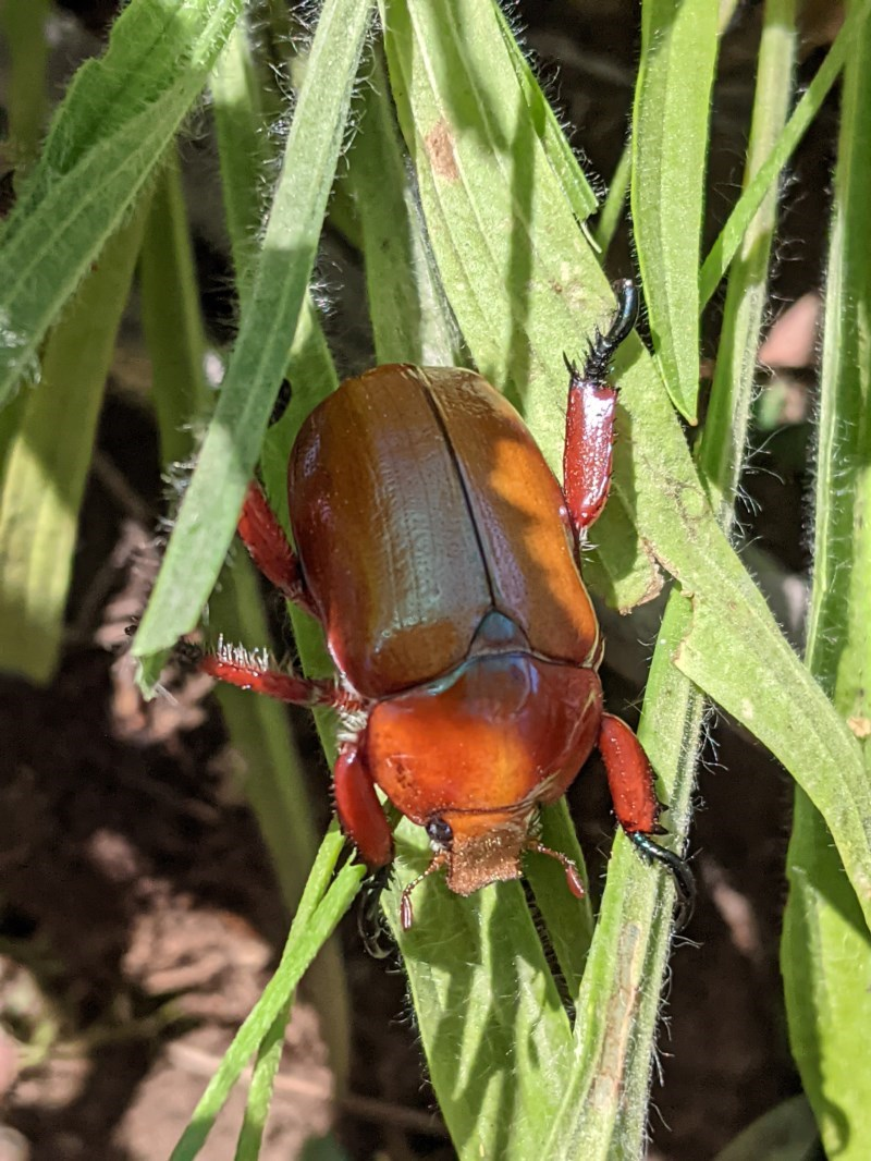 Anoplognathus montanus at Federal Golf Course - 5 Dec 2020