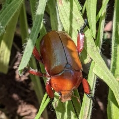 Anoplognathus montanus (Montane Christmas beetle) at Federal Golf Course - 5 Dec 2020 by JackyF