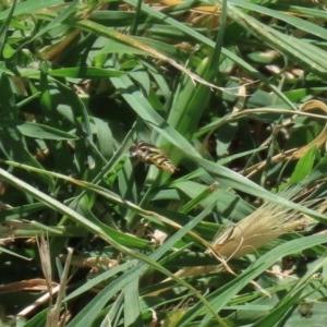 Simosyrphus grandicornis at Jerrabomberra Wetlands - 4 Dec 2020