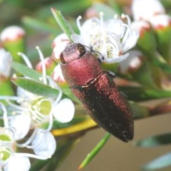 Melobasis propinqua (Propinqua jewel beetle) at Black Mountain - 4 Dec 2020 by Harrisi