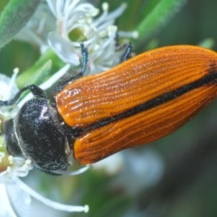 Castiarina rufipennis (A Jewel Beetle) at Black Mountain - 4 Dec 2020 by Harrisi