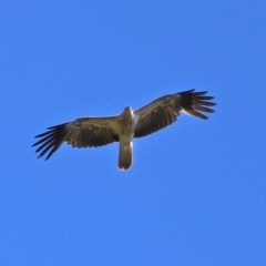 Haliastur sphenurus (Whistling Kite) at Jerrabomberra Wetlands - 4 Dec 2020 by RodDeb