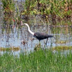 Ardea pacifica (White-necked Heron) at Fyshwick, ACT - 4 Dec 2020 by RodDeb