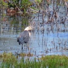 Ardea pacifica at Jerrabomberra Wetlands - 4 Dec 2020