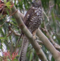 Accipiter fasciatus (Brown Goshawk) at Moruya, NSW - 5 Dec 2020 by LisaH