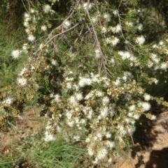 Kunzea ericoides (Burgan) at Hughes, ACT - 4 Dec 2020 by jennyt