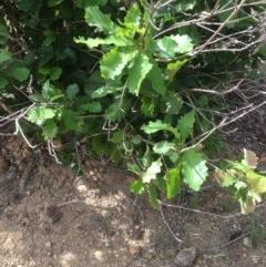 Quercus robur (English Oak) at Deakin, ACT - 4 Dec 2020 by jennyt